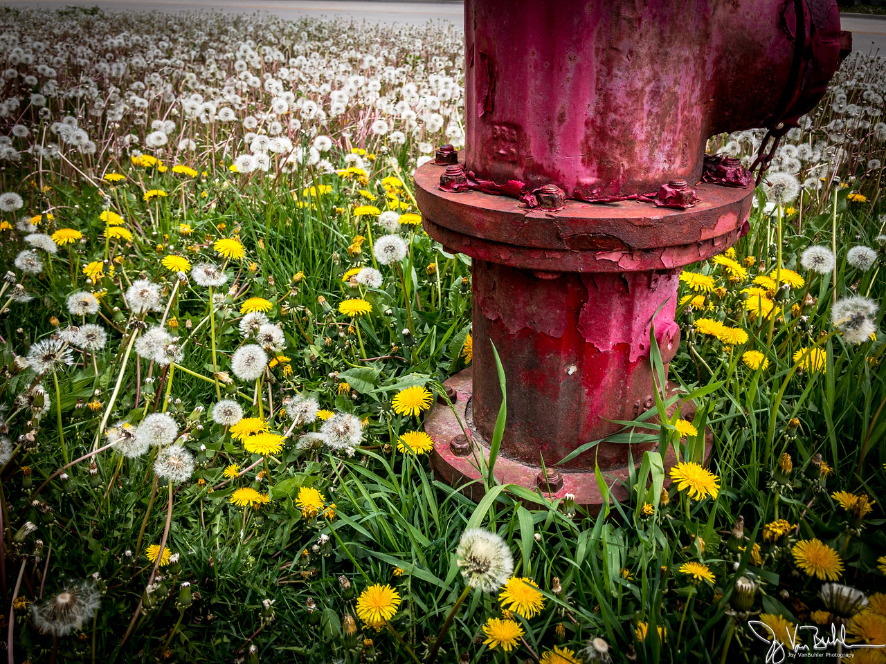 126/365 - Fire Hydrant and Dandelions