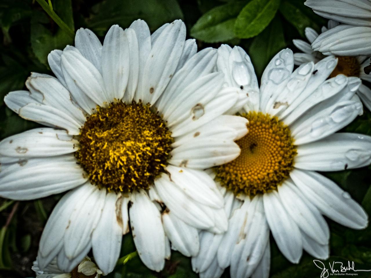 191/365 - Daisy