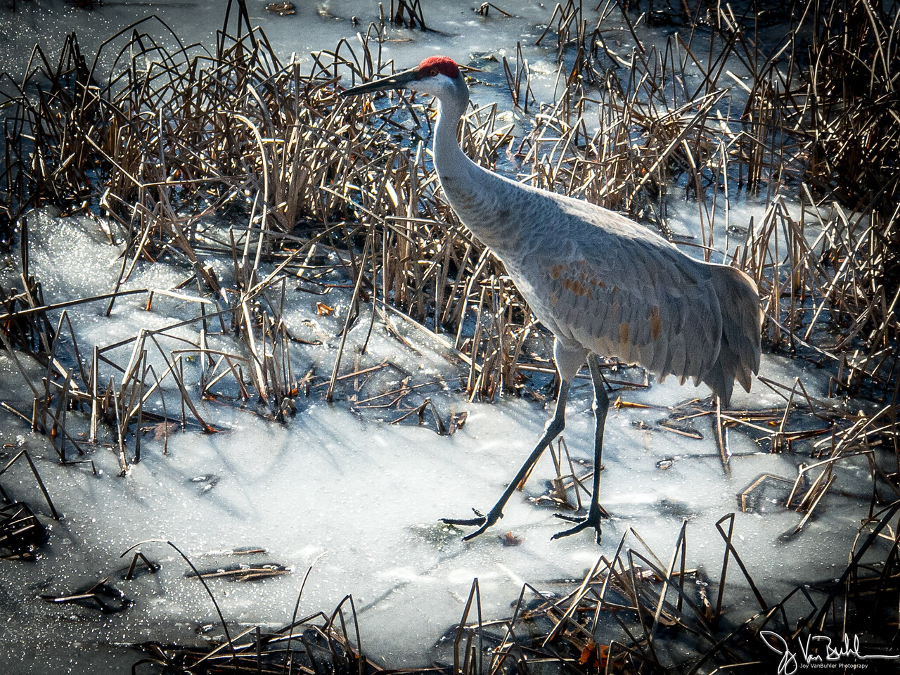 50/365 - Sandhill Crane