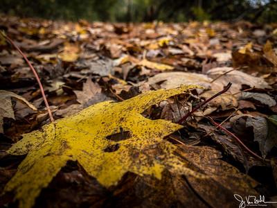 308/365 - Fallen Leaves