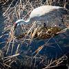 91/365 - Sandhill Crane