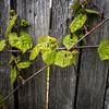 129/365 - Vines
