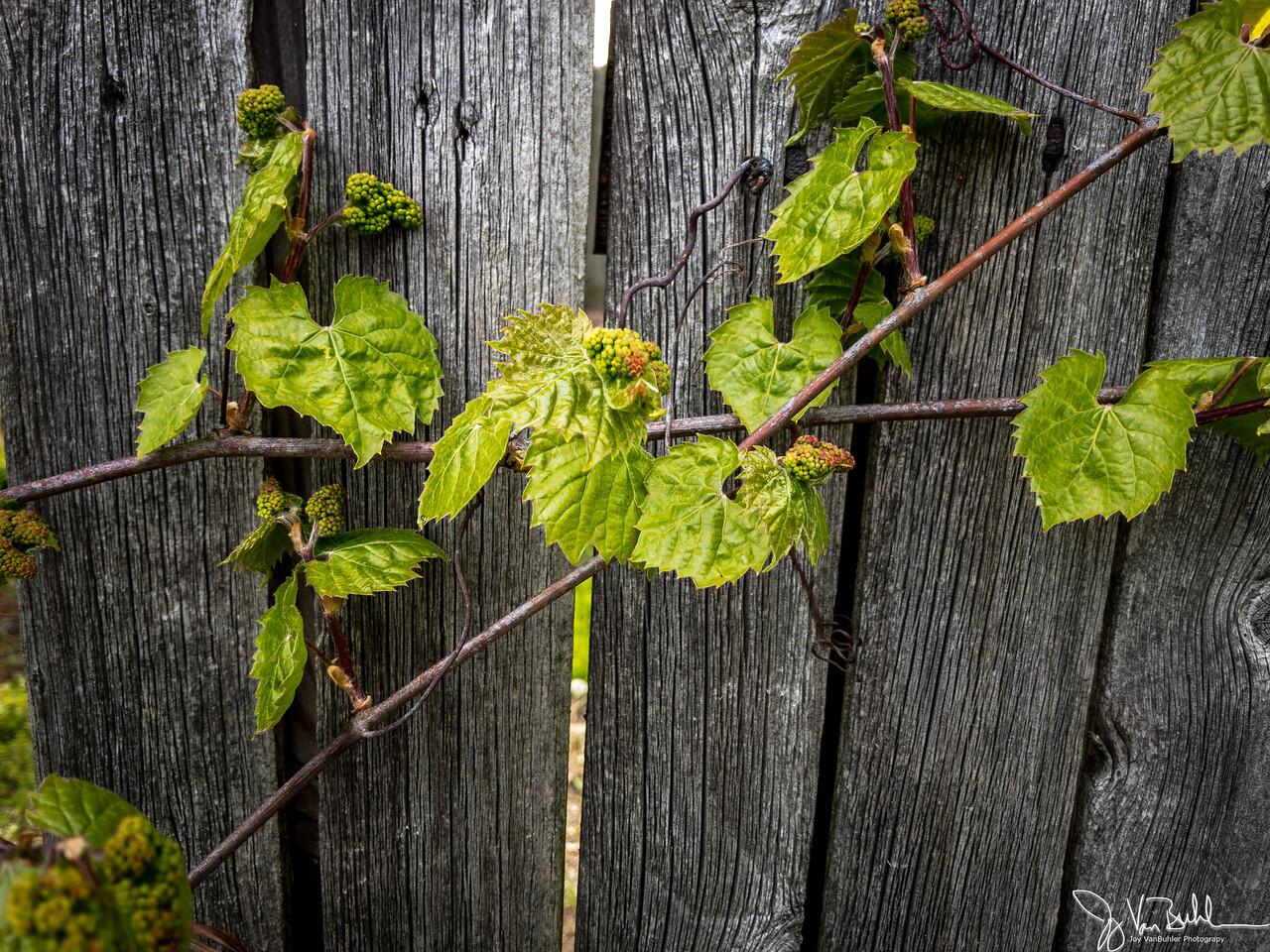 130/365 - Vines