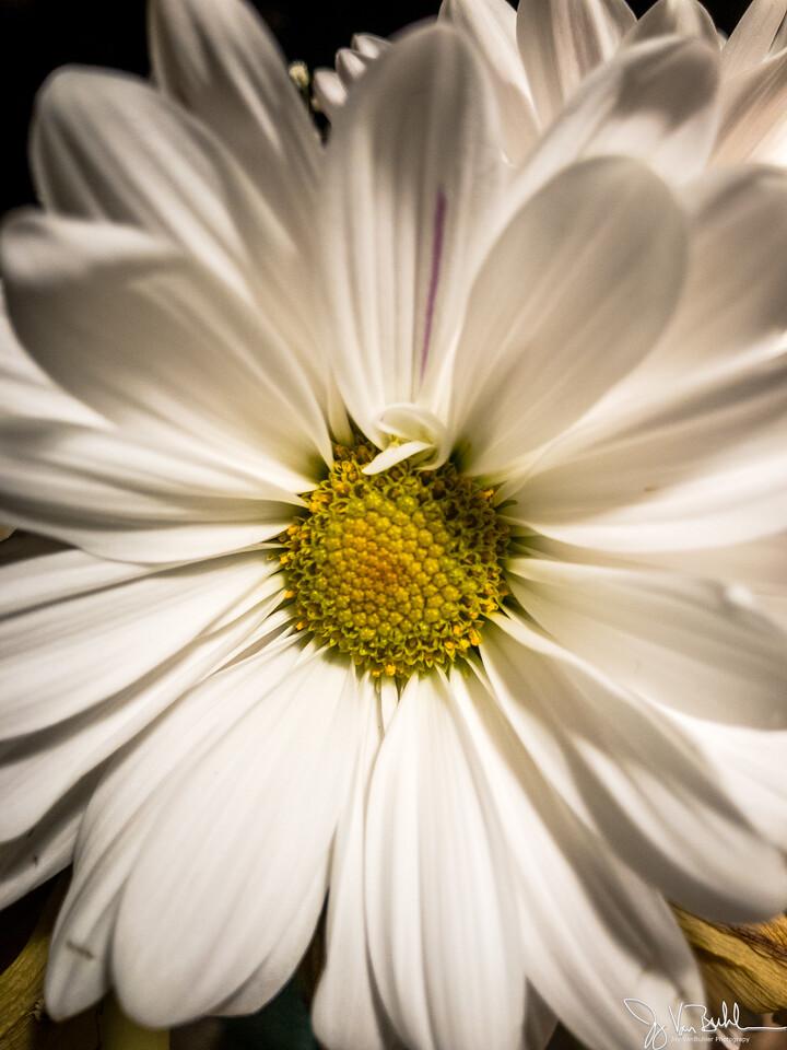 94/365 - Daisy