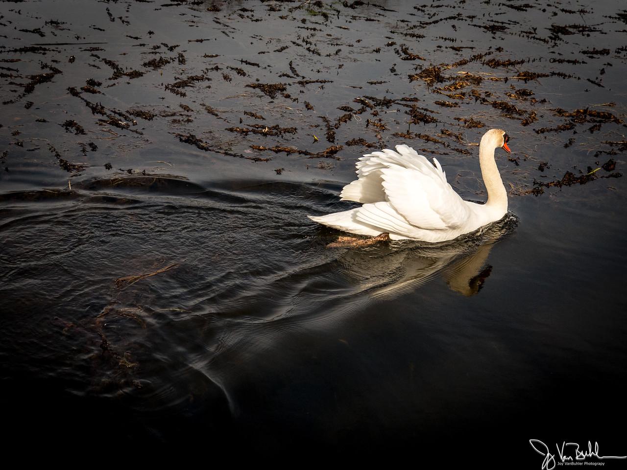 99/365 - Swans