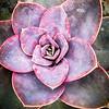156/365 - Succulent