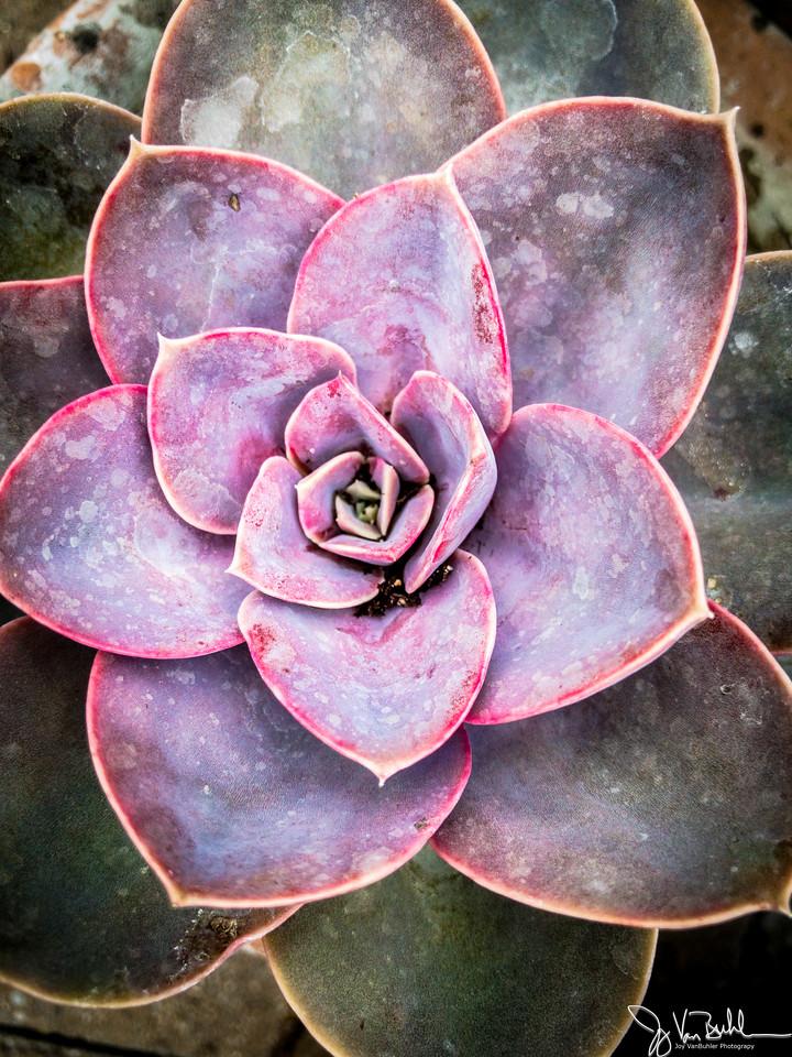 148/365 - Succulent