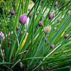 123/365 - Chives