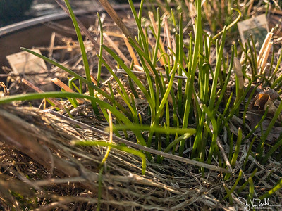 77/365 - Chives