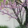 124/365 - Redbud Tree