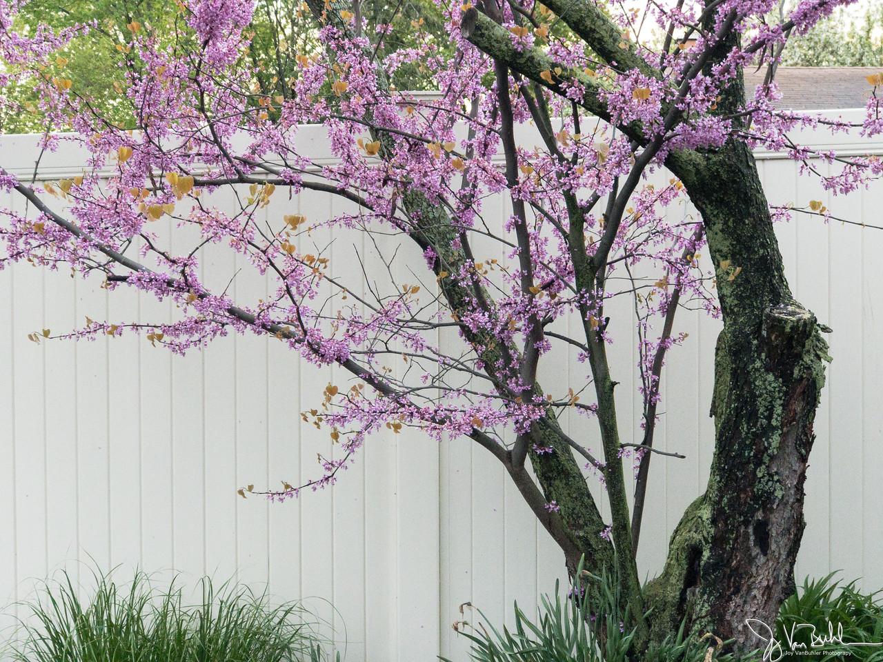 125/365 - Redbud Tree