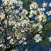 126/365 - Flowering Tree