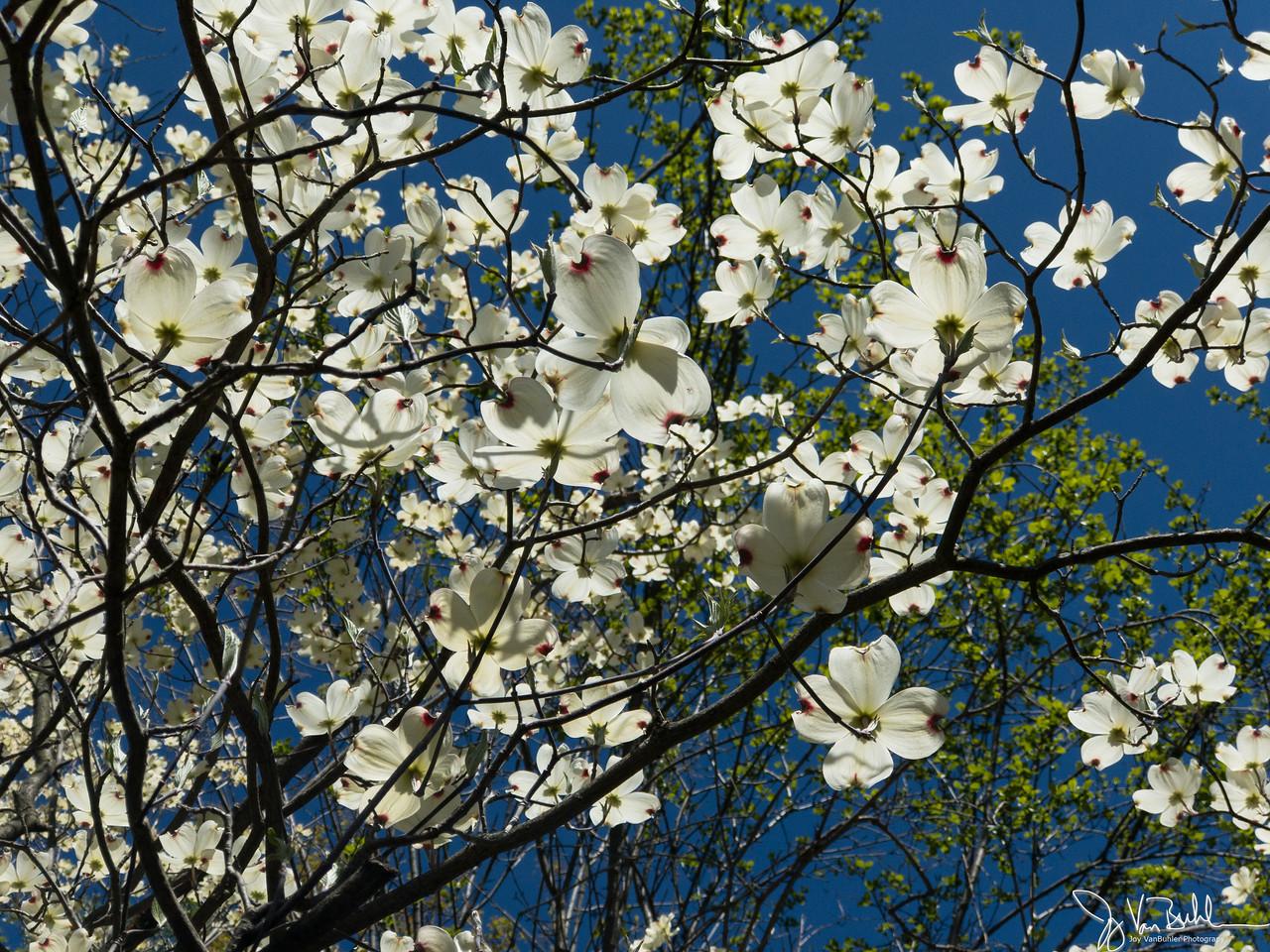 127/365 - Flowering Tree