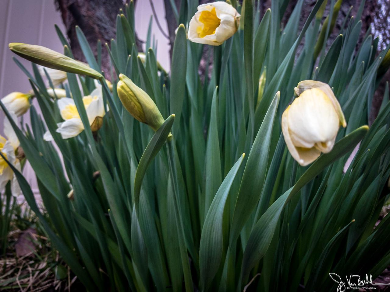 93/365 - Tulips