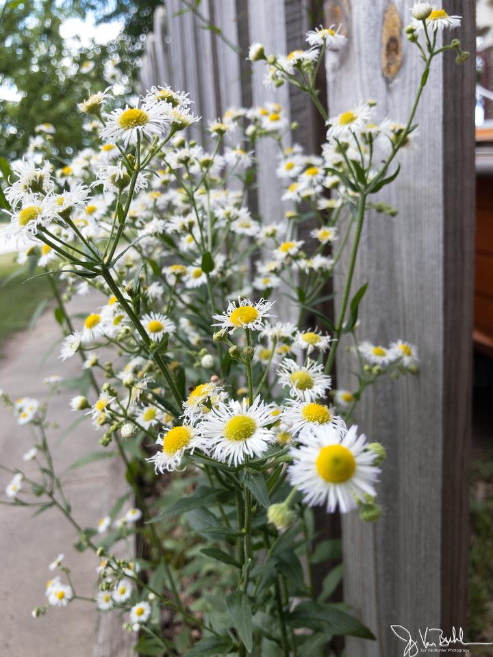 176/365 - Flowers