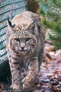 2/52 - 3: Bobcat