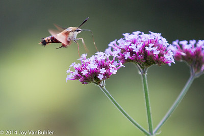 33/52-2: Hummingbird Moth