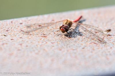 38/52-1:  Dragonfly
