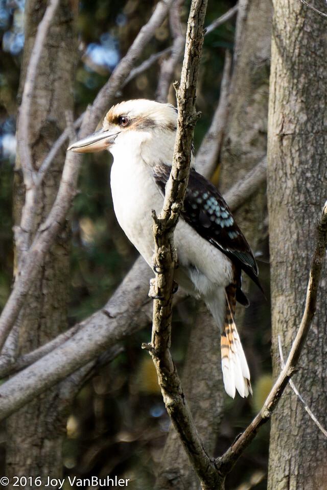 20/52-4: Kookaburra