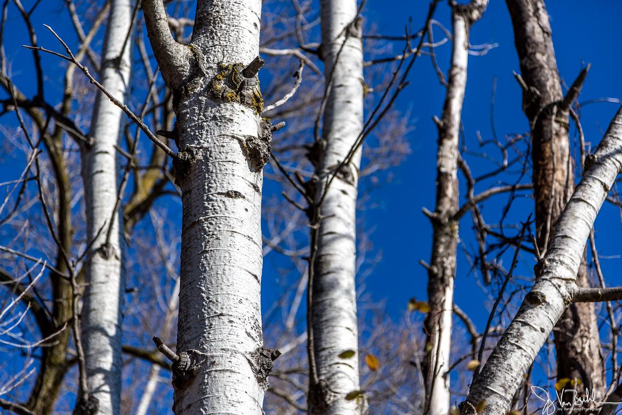 47/52-5: Birch Trees