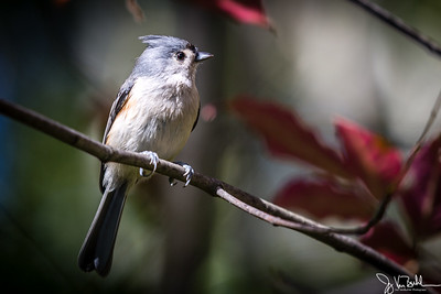 42/52-2: Tufted Titmouse