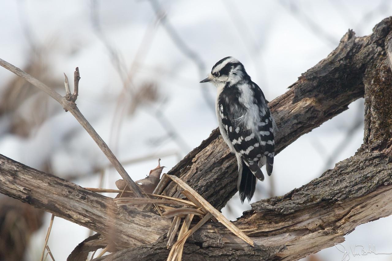 9/52-4: Downy Woodpecker