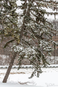 51/52-3: Snow Covered Tree
