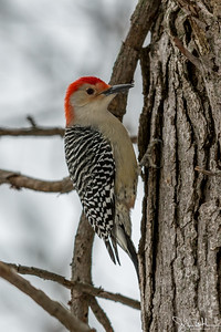 52/52-1: Red Bellied Woodpecker