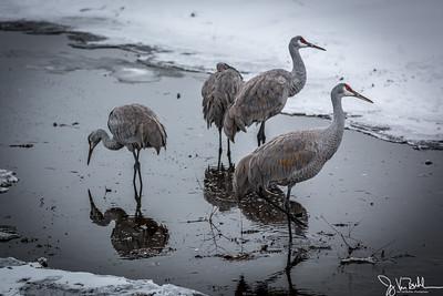 51/52-1: Sandhill Cranes