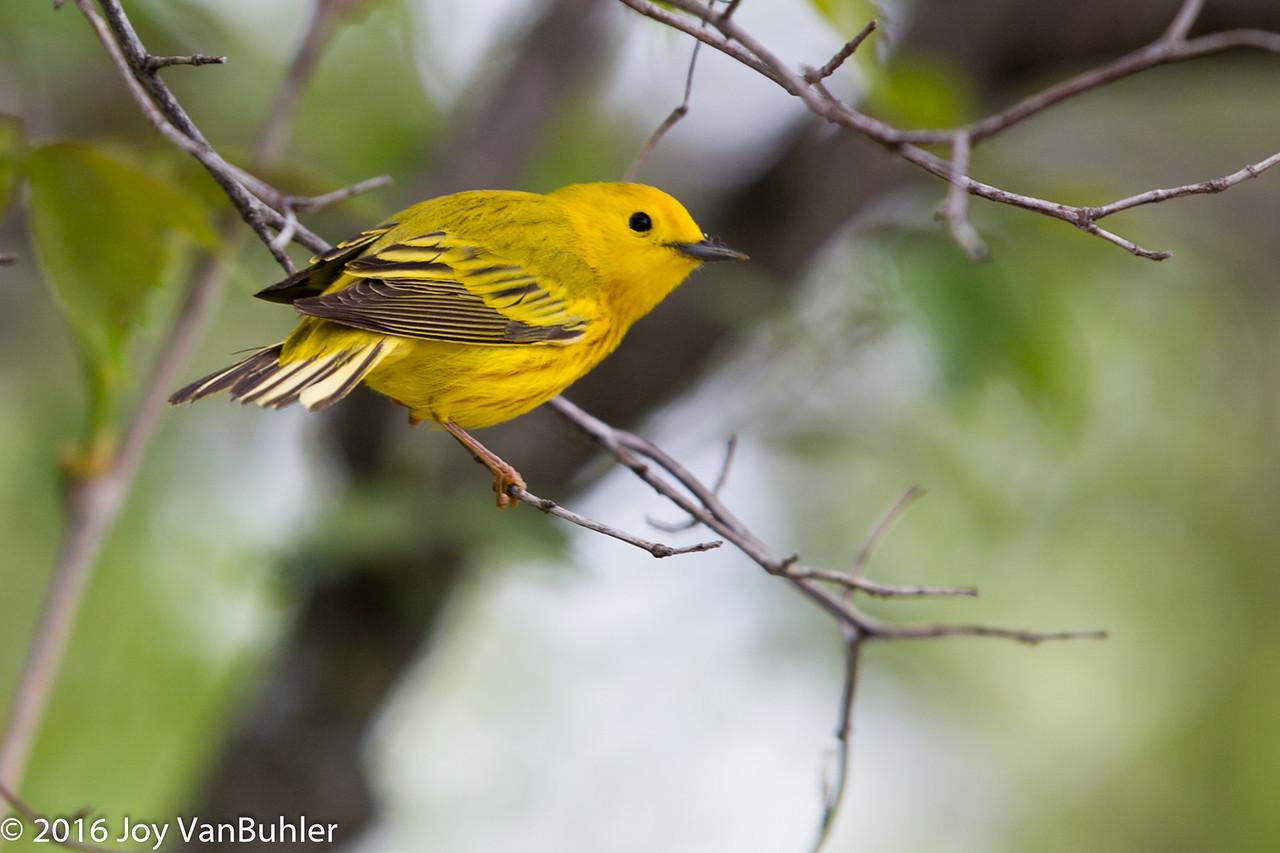 21/52-3: Warbler at Maggee Marsh