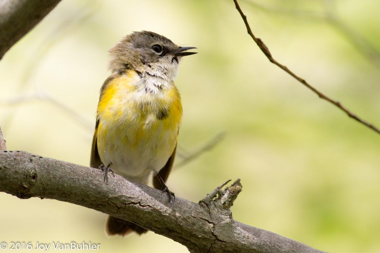 21/52-1: Warbler at Maggee Marsh