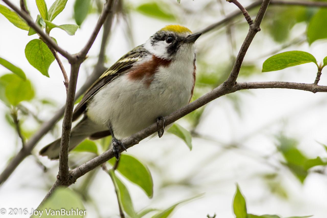 21/52-2: Warbler at Maggee Marsh