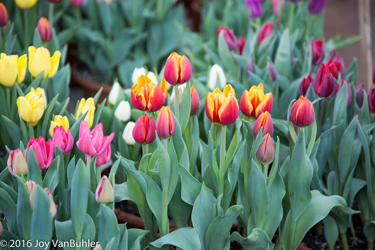 13/52-5: Tulips