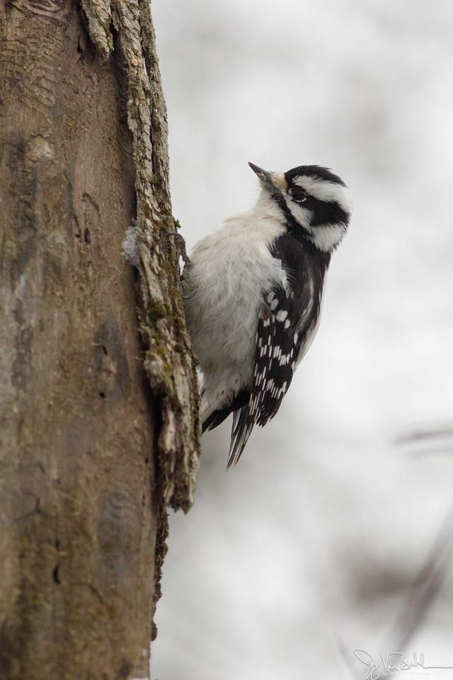 1/52-5: Woodpecker
