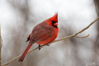 1/52-4: Cardinal