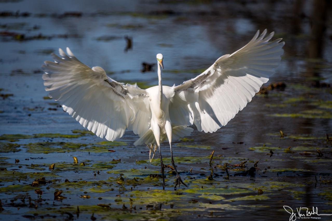 16/52-1: Egret