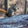 8/52-4: Squirrel