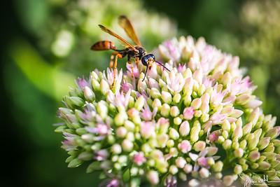 34/52-1: Wasp