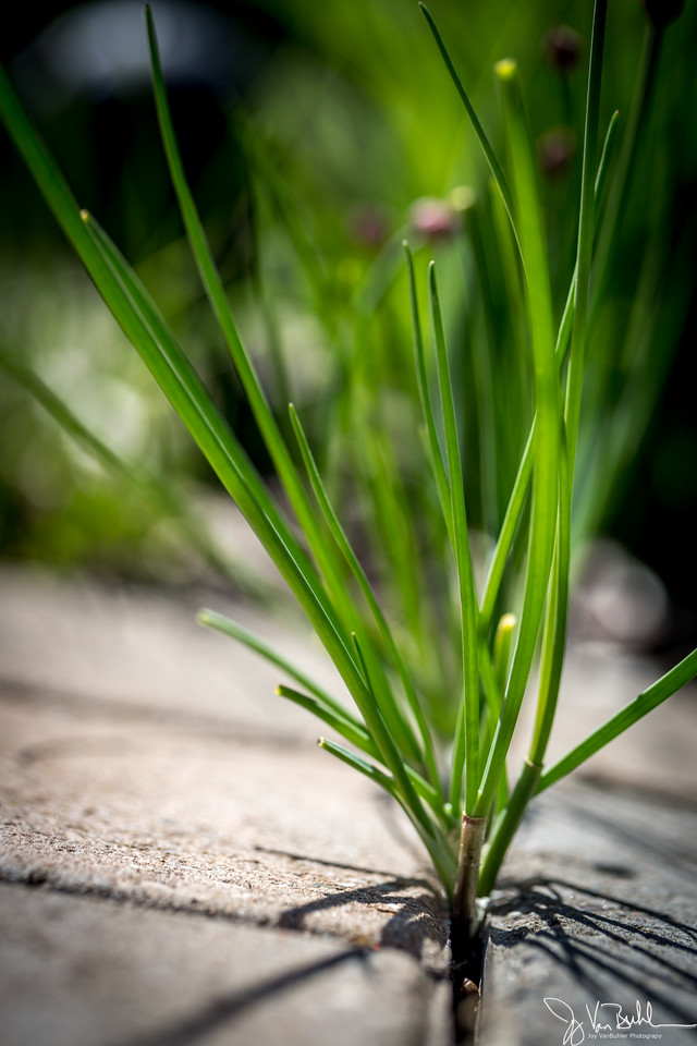 16/52-2: Chives