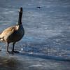 8/52-2: Goose