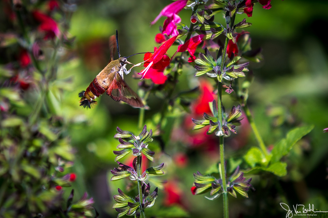 31/52-5: Hummingbird Moth