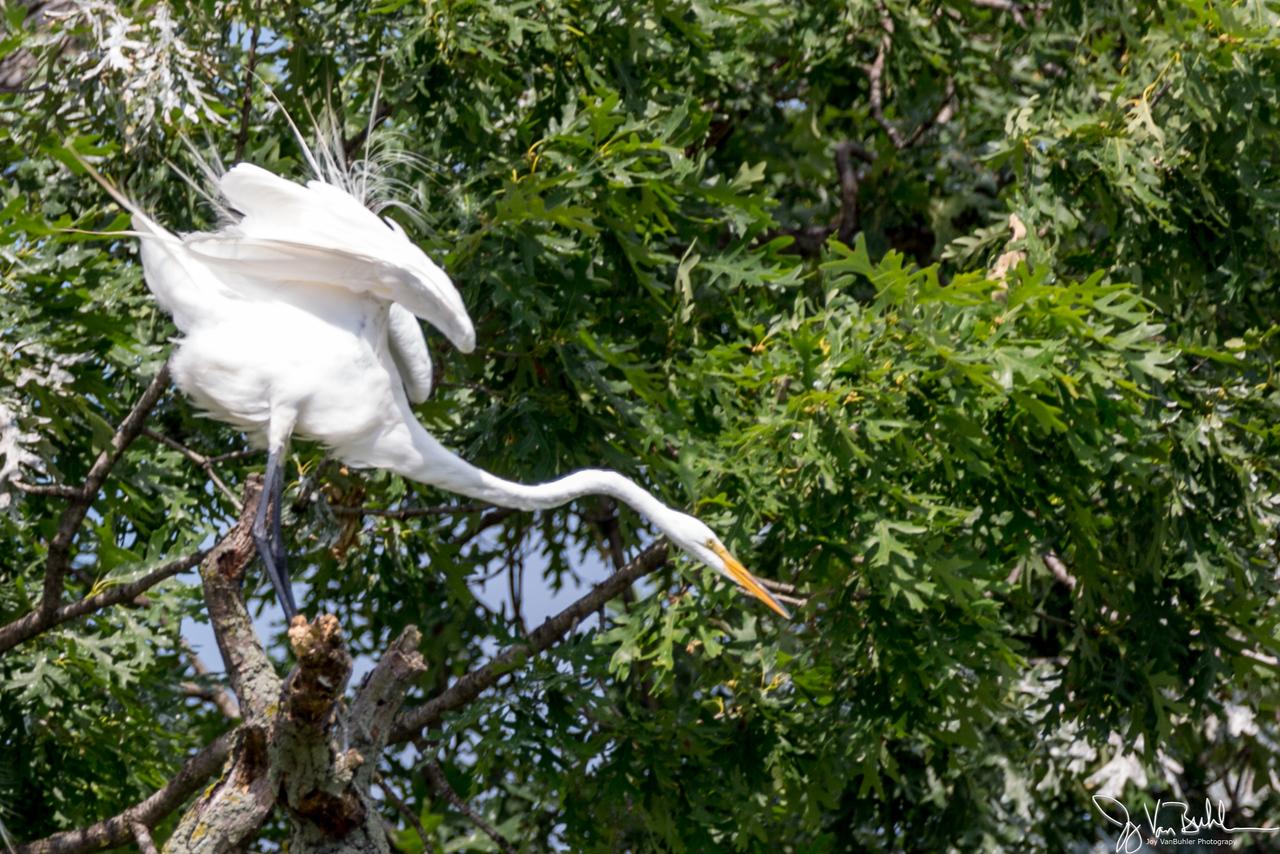 26/52-3: Egrets