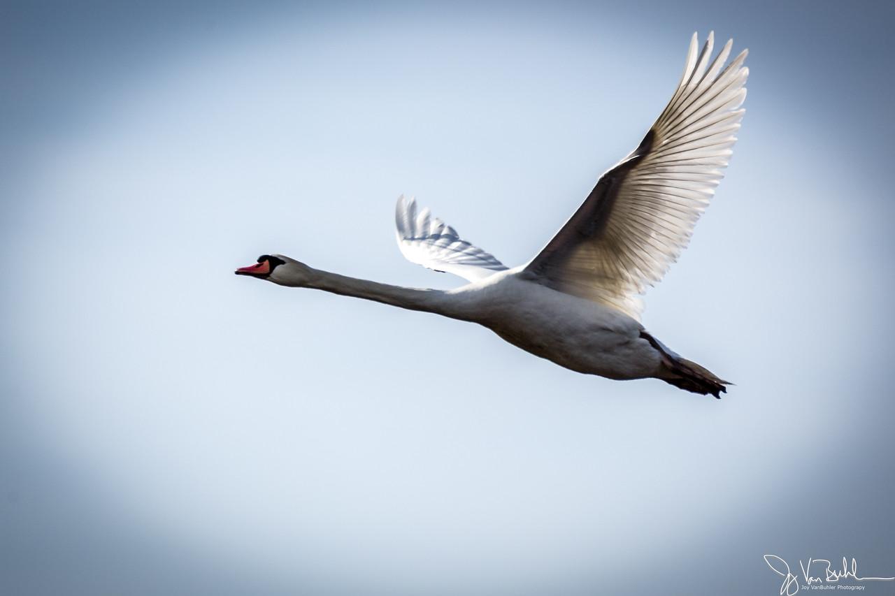14/52-4: Swan