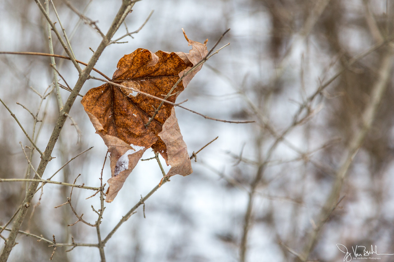 4/52-2: Winter Leaf