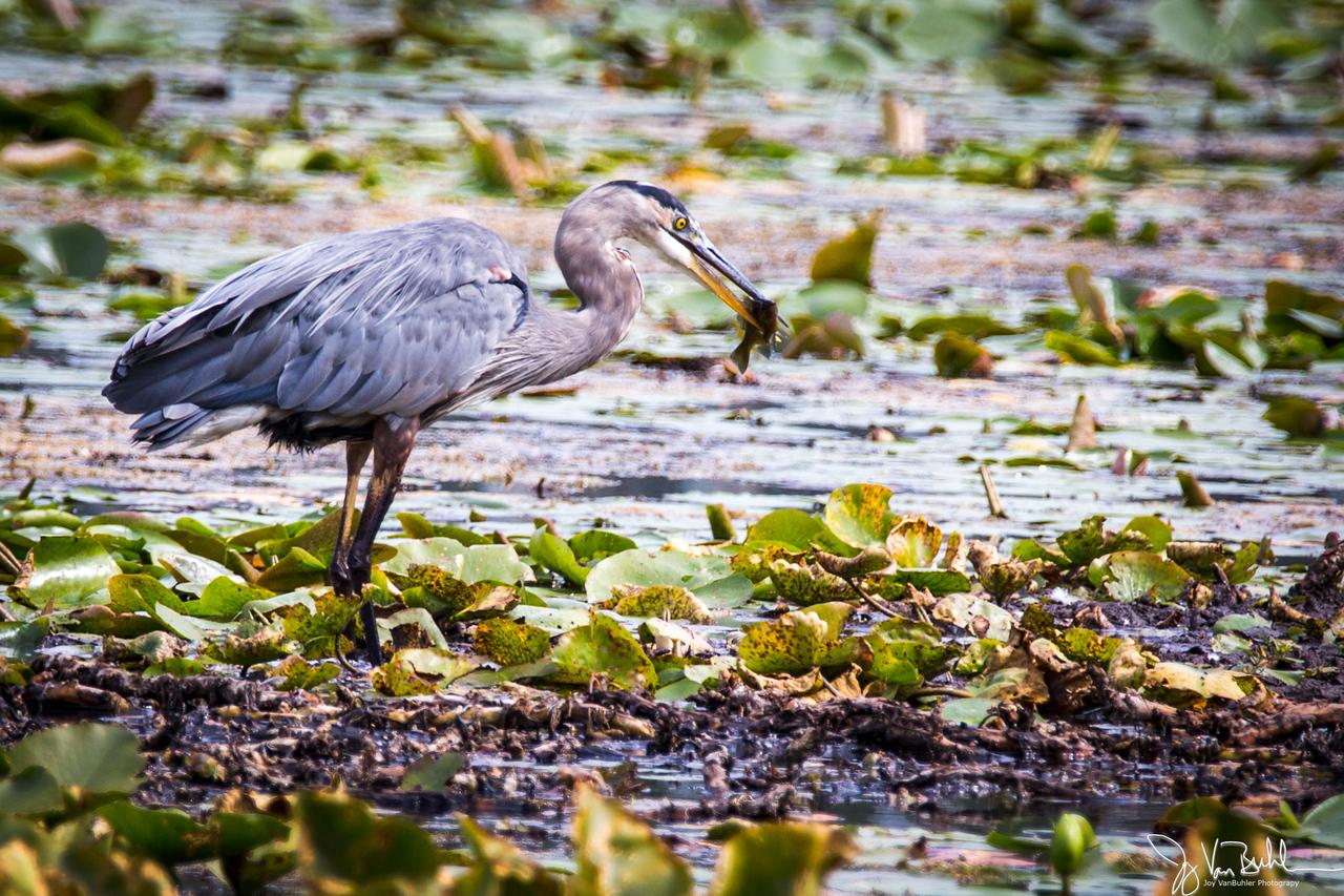 35/52-4: Blue Heron