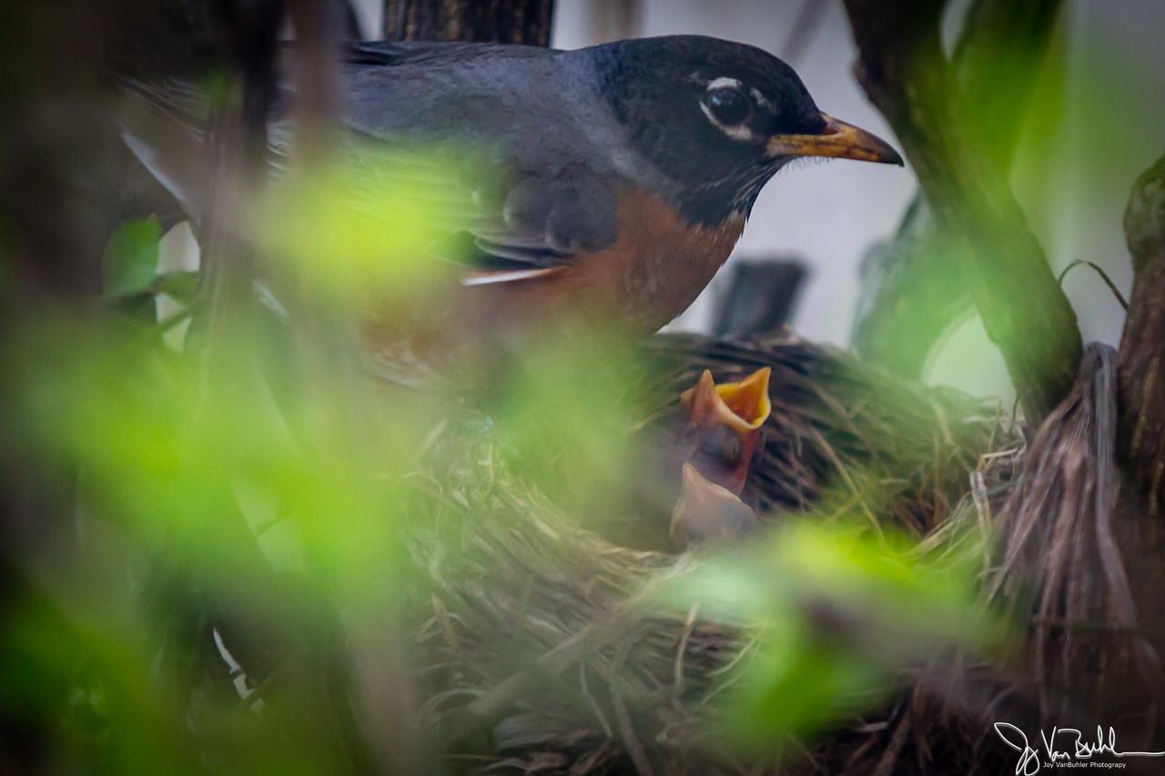17/52-3: Robin