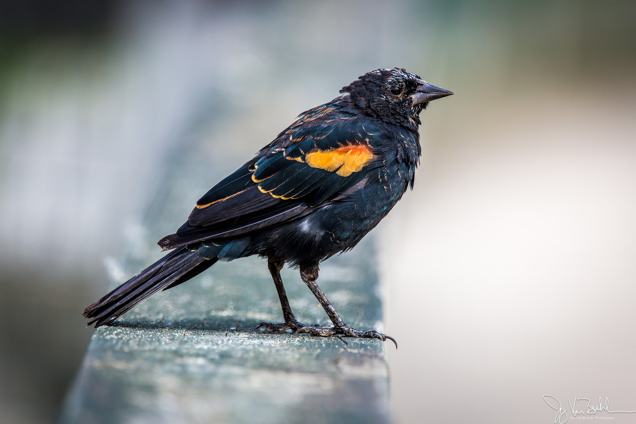 35/52-2: Red Winged Blackbird
