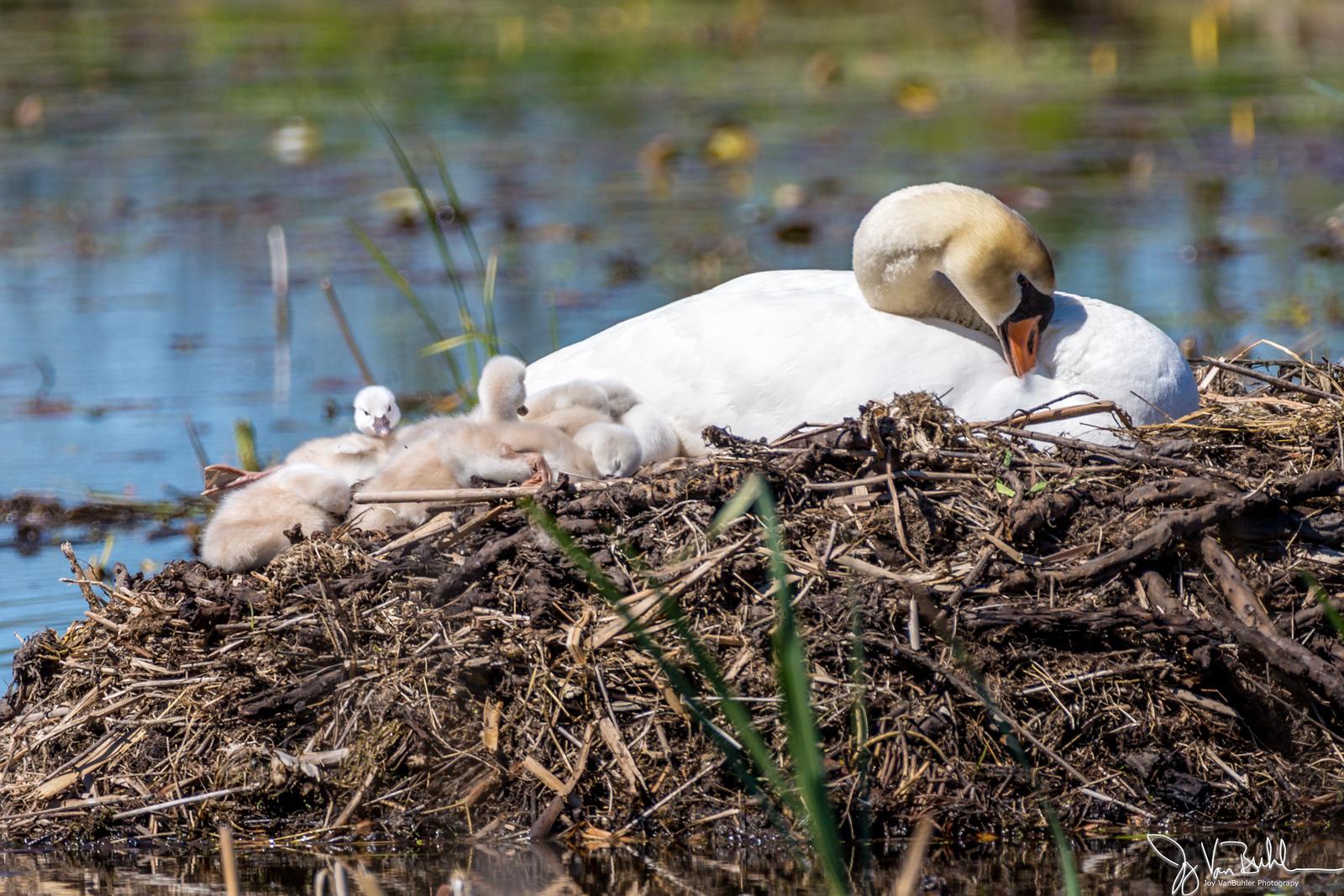 19/52-5: Swans