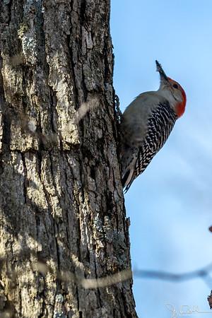 10/52-4: Red Bellied Woodpecker
