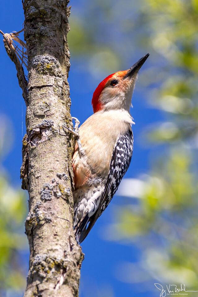 19/52-1: Red Bellied Woodpecker